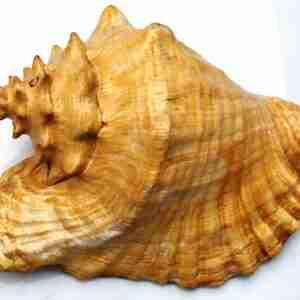 Рапан морской крупный